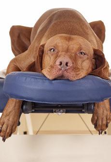 hund ligger på massagebänk och får hundmassage